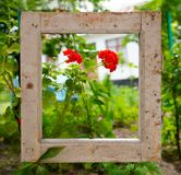Red geraniums in a garden behind an old, dirty frame stock photo