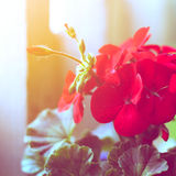 Red geraniums Royalty Free Stock Photography