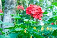 Red  geraniums. Royalty Free Stock Photos
