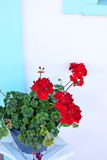 Red Geraniums in Pot. Red geranium flowers in pot with blue and white background Royalty Free Stock Photo