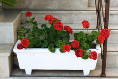 Red Geraniums in pots at  garden Stock Photography