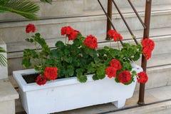Red Geraniums in pots at  garden Stock Photos