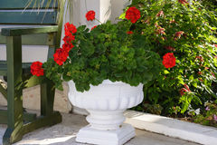 Red Geraniums in pots at  garden Royalty Free Stock Image