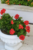 Red Geraniums in pots at  garden Royalty Free Stock Images