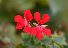 Red Geraniums Royalty Free Stock Image