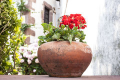 Red geraniums. Terracotta pot with red geraniums stock photo