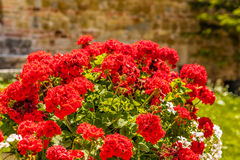Red geraniums. Red and white geraniums with green leaves Stock Photo