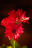 Red Gerber Daisies. On Brown Background stock photography
