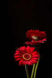 Red Gerber Daisies on black background. Close up of three Red Gerber Daisies isolated on black background royalty free stock images