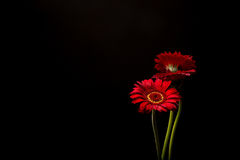 Red Gerber Daisies on black background. Three Vibrant Red Gerber Daisies isolated on black background, still life royalty free stock photos