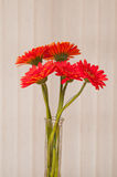 Red gerber daisies Royalty Free Stock Image