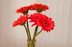 Red gerber daisies Stock Photos