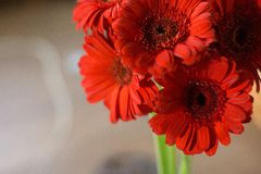 Red Gerber Daisies Stock Photo