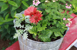 Red Gerber Daisies in a metal bucket. On a red bench stock photography
