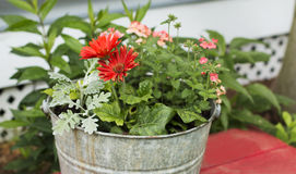 Red Gerber Daisies in a metal bucket. On a red wooden bench stock photos