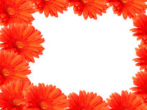 Red gerber daisies on white. Background forming a frame Stock Photo