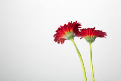 Red Gerber Daisies on White background. Two Beautiful Red Gerber Daisies Isolated on White background royalty free stock photos
