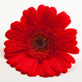 Red Gerber Daisy. Closeup picture of a Red Gerber Daisy flower stock photography