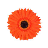 Red gerber daisy. Red gerber daisy on white background royalty free stock photo