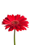 Red gerber daisy Royalty Free Stock Image