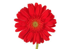Red Gerber daisy. Isolate over white royalty free stock photos