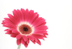 Red Gerber Daisy. On white background Stock Images