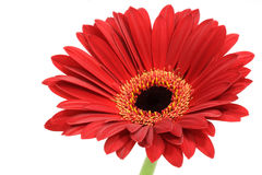 Red gerber daisy. Isolated on white royalty free stock photography