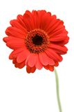 Red Gerber Daisy. Isolated on a white background stock images
