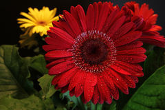 Red Gerber Daisy Stock Photos