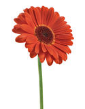 Red Gerber Daisy. Isolated [clipping path royalty free stock photo