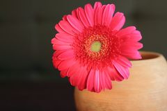 Red gerber daisy in clay flower pot on table. Beautiful home decoration. Bright blossom flower Royalty Free Stock Image