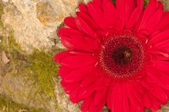 RED GERBER DAISY CLOSEUP ON A EROCK stock photo
