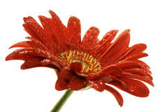 Red gerber daisy with droplets Royalty Free Stock Photos