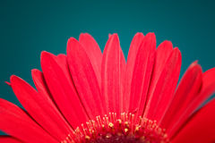 Red Gerber Daisy Flower Stock Photos