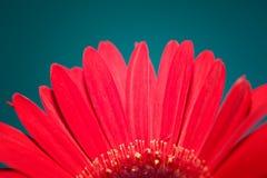Red Gerber Daisy Flower Stock Photos
