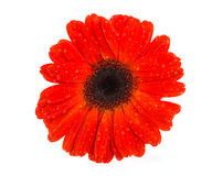 Red Gerber Daisy flower Stock Images