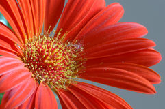 Red gerber daisy isolated closeup. Red gerber daisy against gray background closeup, isolated stock photo