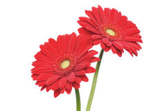 Red gerber daisy isolated on white Stock Photo
