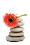 Red gerber daisy and pebbles. Isolated on white Stock Image