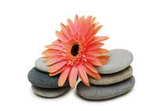 Red gerber daisy and pebbles Royalty Free Stock Image