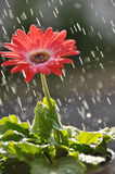 Red Gerber Daisy in the Rain Stock Images