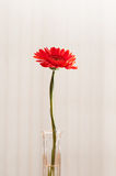 Red gerber daisy Stock Photography