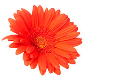 Red gerber daisy on white. Background. Shallow depth of field Royalty Free Stock Images