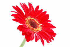 Red Gerber daisy on white Royalty Free Stock Photo