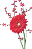 Red gerber daisy and winter berries Stock Image