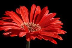 Red gerber flower Stock Photos
