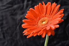 Free Red Gerber Flower Stock Photos - 5718343