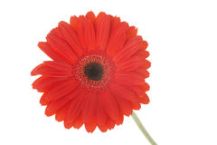 Red gerber flower Stock Image