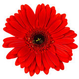 Red gerber flower isolated on white Royalty Free Stock Photography