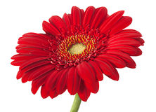 Red gerber flower Stock Photography